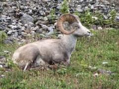mouflon stone.jpeg
